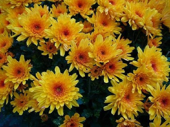 chrysanthemum-flowers- (1)