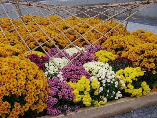 chrysanthemum-flowers- (5)
