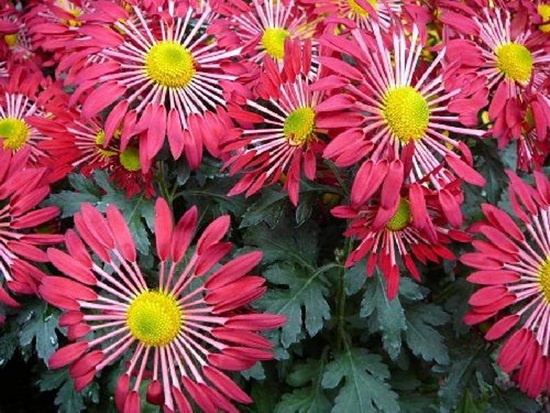 chrysanthemum-flowers- (11)