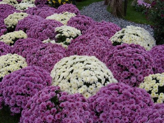chrysanthemum-flowers- (13)
