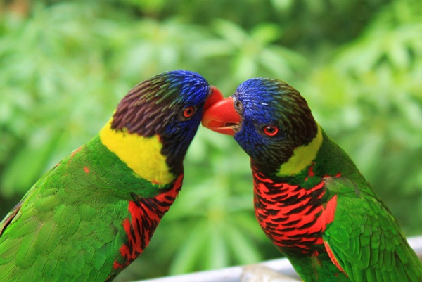 love-birds-kissing- (4)