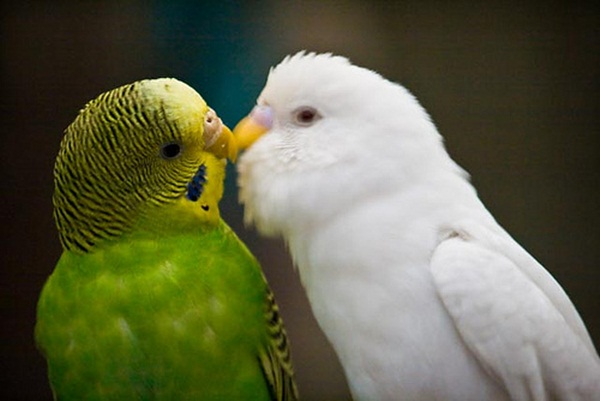 love-birds-kissing- (8)