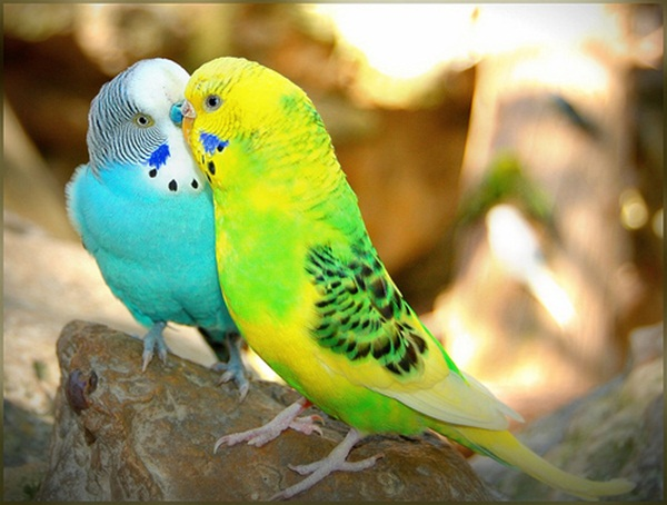 Love Birds Kissing 9