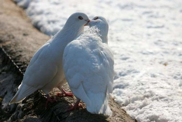 love-birds-kissing- (12)