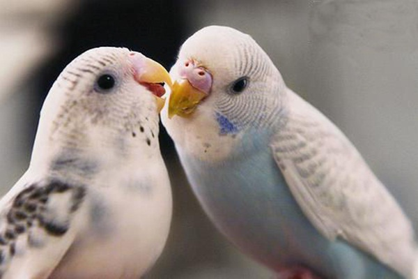love-birds-kissing- (19)