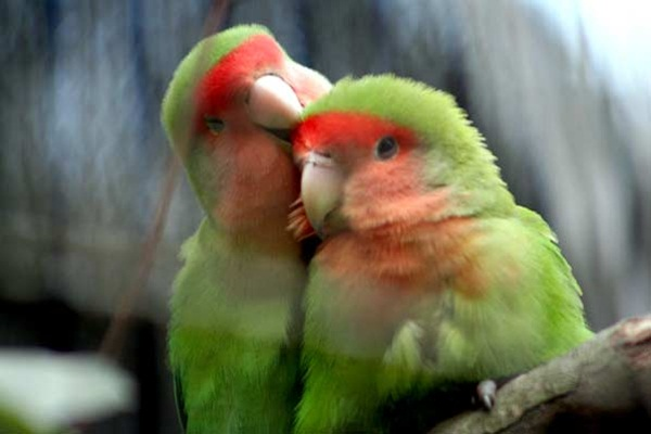love-birds-kissing- (23)