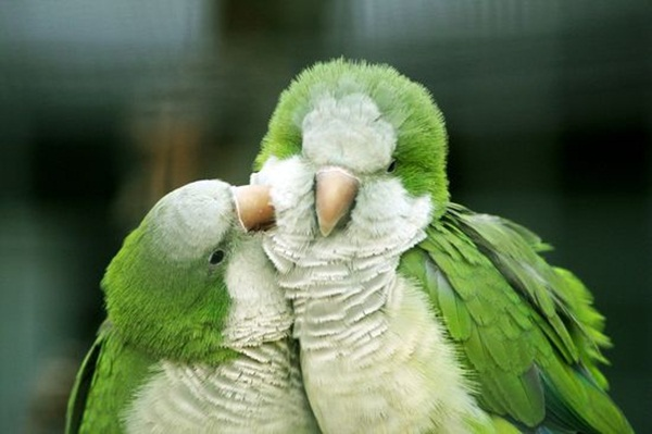 love-birds-kissing- (28)