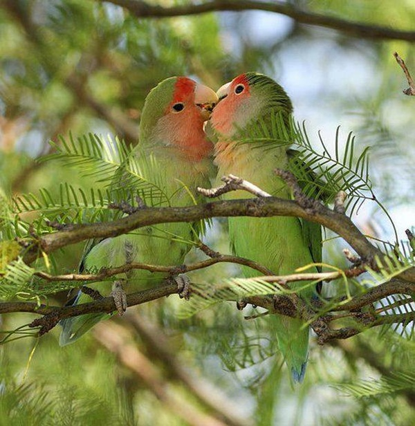 love-birds-kissing- (29)