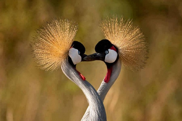 love-birds-kissing- (32)