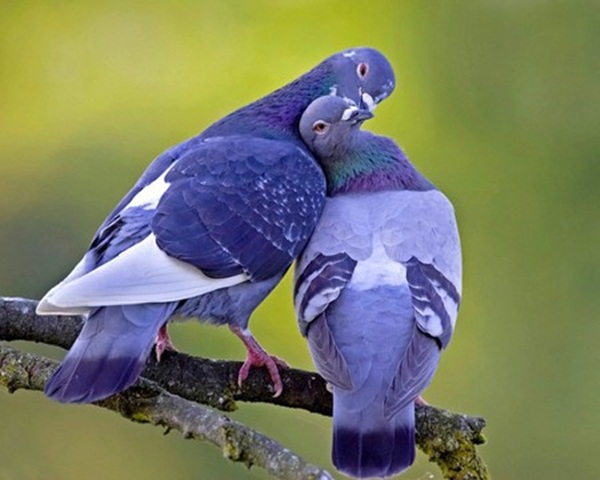 love-birds-kissing- (34)