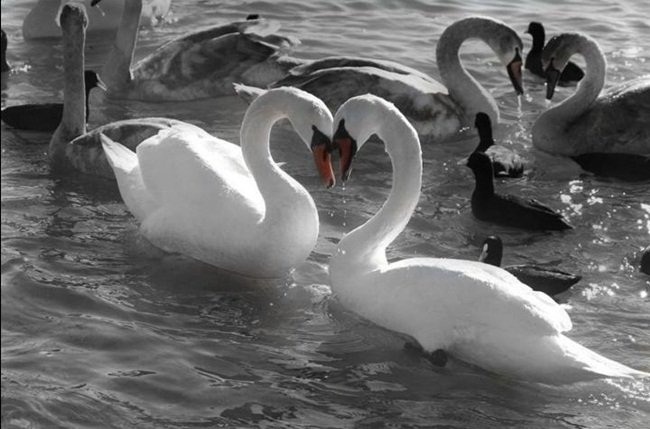 beautiful-swan-photos- (1)