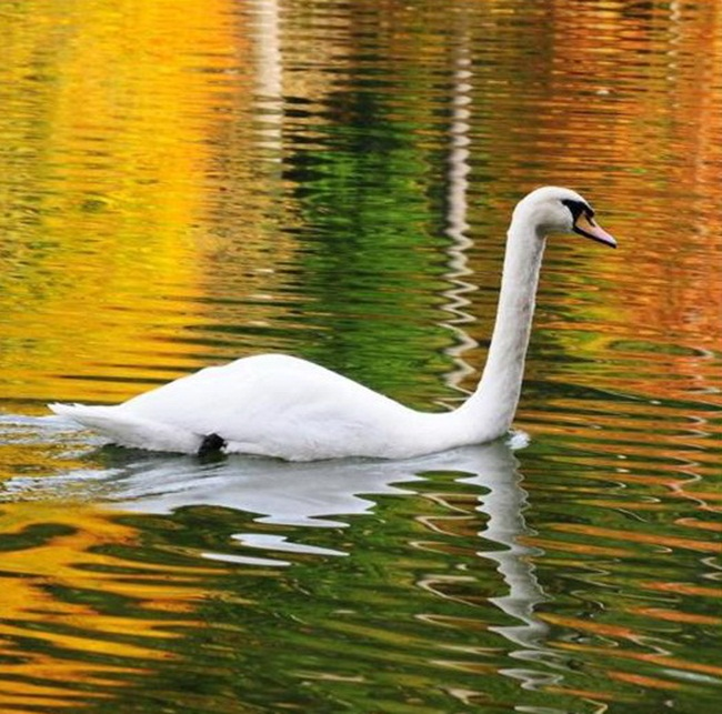 beautiful-swan-photos- (3)