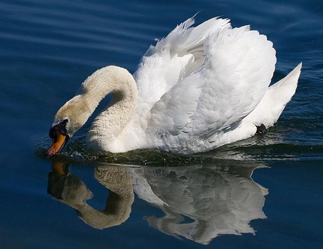 beautiful-swan-photos- (12)