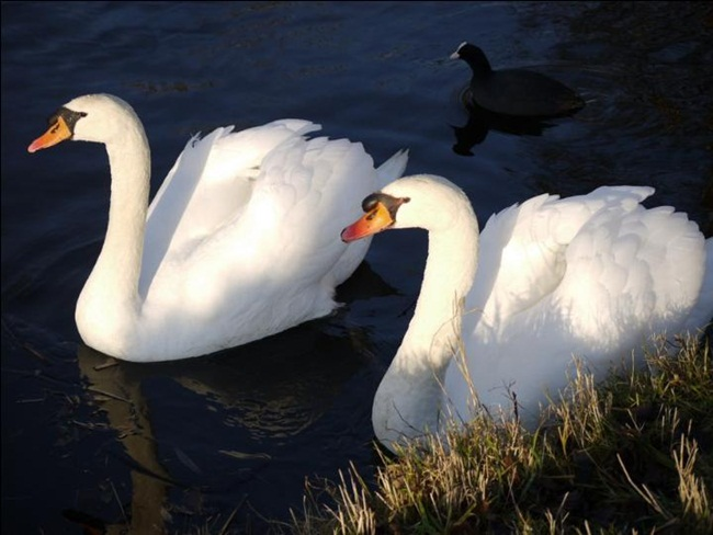 beautiful-swan-photos- (15)
