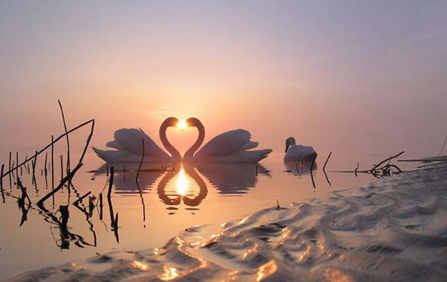 beautiful-swan-photos- (16)