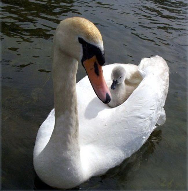 beautiful-swan-photos- (19)