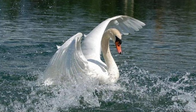 beautiful-swan-photos- (24)