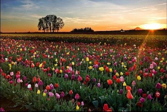 netherlands-tulips- (2)