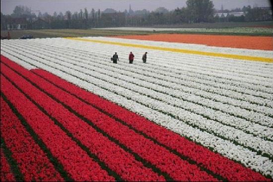 netherlands-tulips- (5)