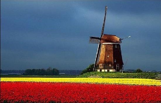 netherlands-tulips- (8)
