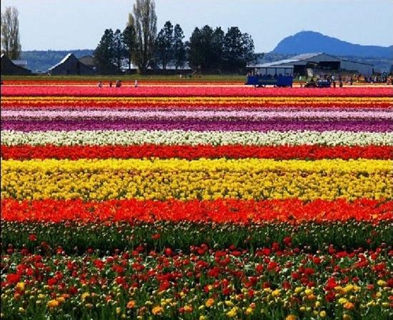 netherlands-tulips- (14)