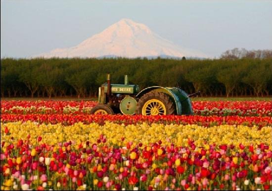 netherlands-tulips- (15)