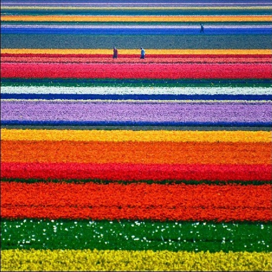 netherlands-tulips- (17)