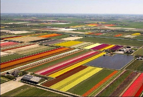 netherlands-tulips- (18)