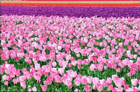 netherlands-tulips- (21)