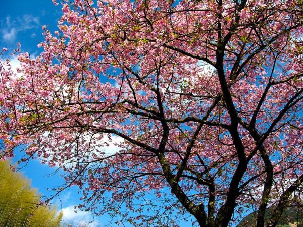 cherry-blossom-wallpaper-16-photos- (15)