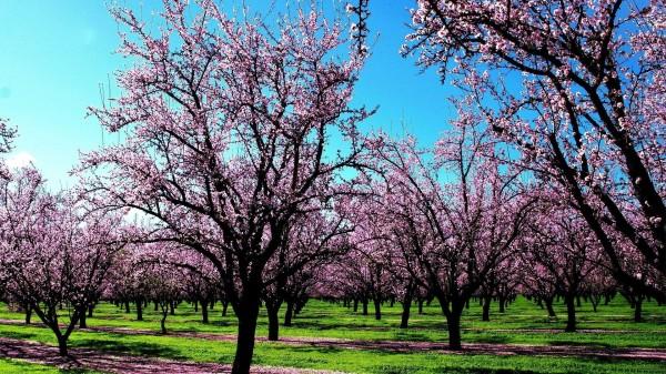 cherry-blossom-wallpaper-16-photos- (2)