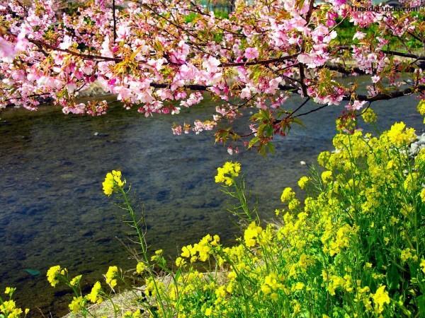 cherry-blossom-wallpaper-16-photos- (3)