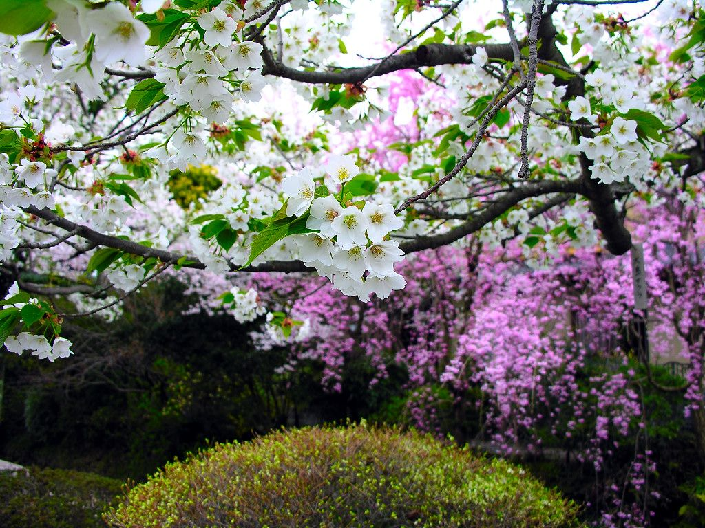 cherry-blossom-wallpaper-16-photos- (4)