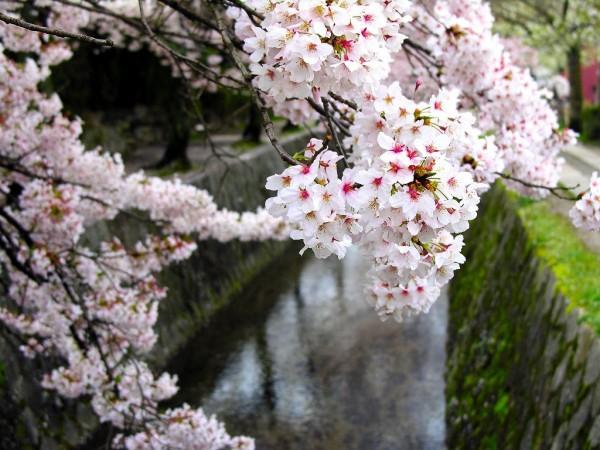 cherry-blossom-wallpaper-16-photos- (8)