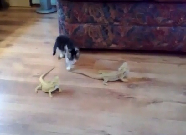 kitty-vs-lizard-funny-video-