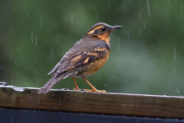 birds-in-rain- (9)