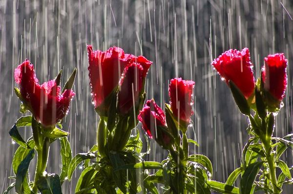 flower-in-rain- (11)