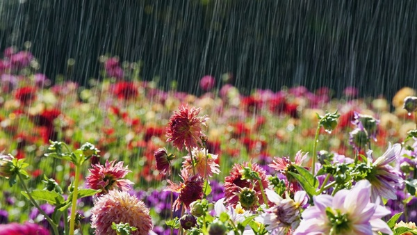 flower-in-rain- (13)