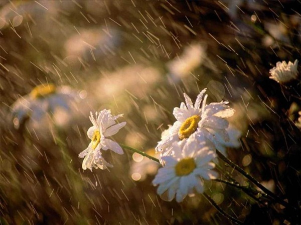 flower-in-rain- (17)