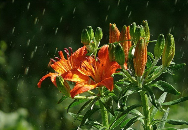 flower-in-rain- (18)