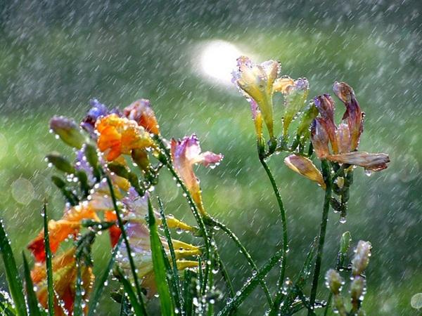 flower-in-rain- (21)