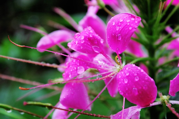 flower-in-rain- (24)