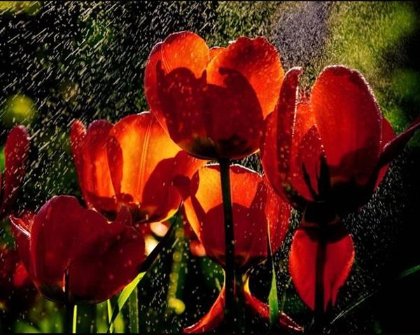 flower-in-rain- (25)