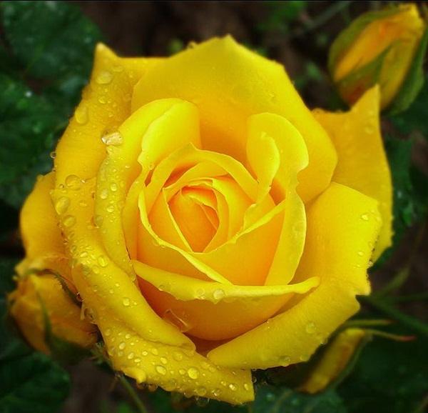 flower-in-rain- (27)