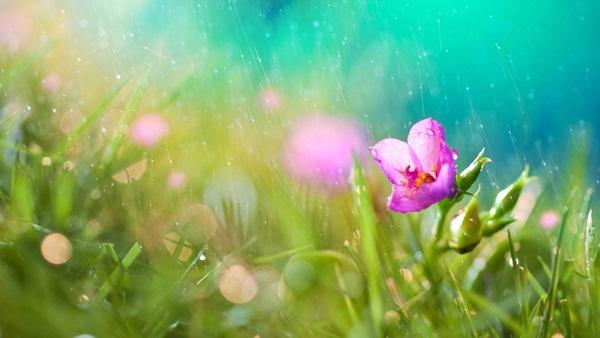 flower-in-rain- (30)