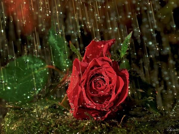 flower-in-rain- (6)