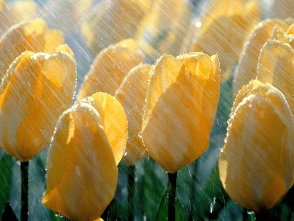flower-in-rain- (7)