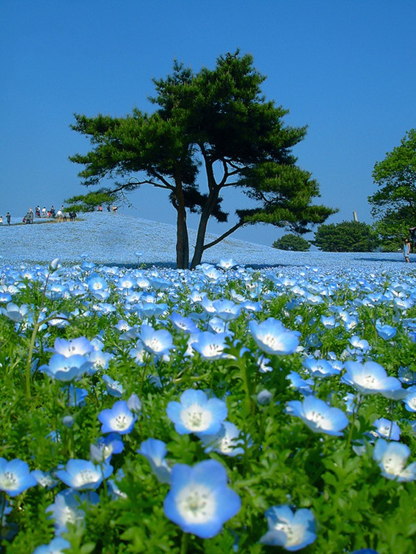 hitachi-seaside-park-japan-24-photos- (15)