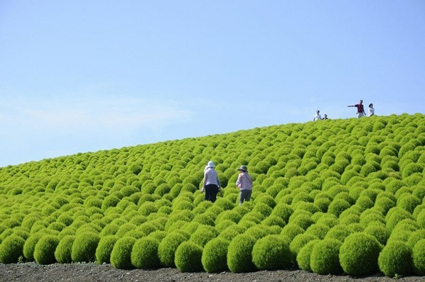 hitachi-seaside-park-japan-24-photos- (18)
