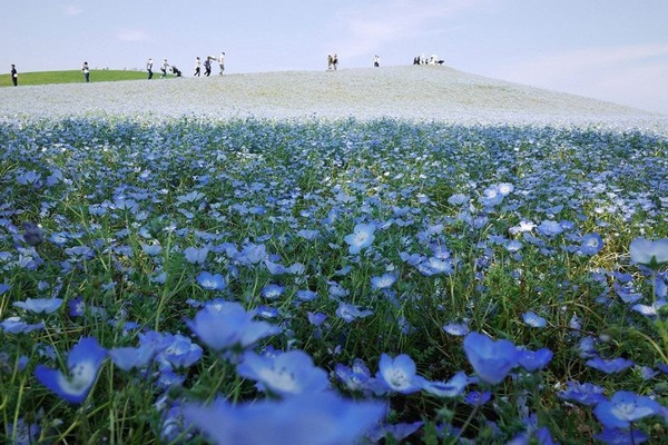 hitachi-seaside-park-japan-24-photos- (19)
